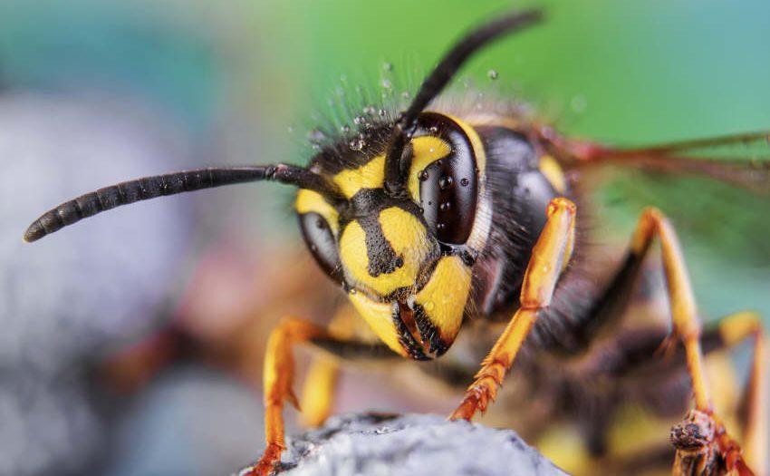 Bammel vor Bienen - Jeder Vierte hat Angst
