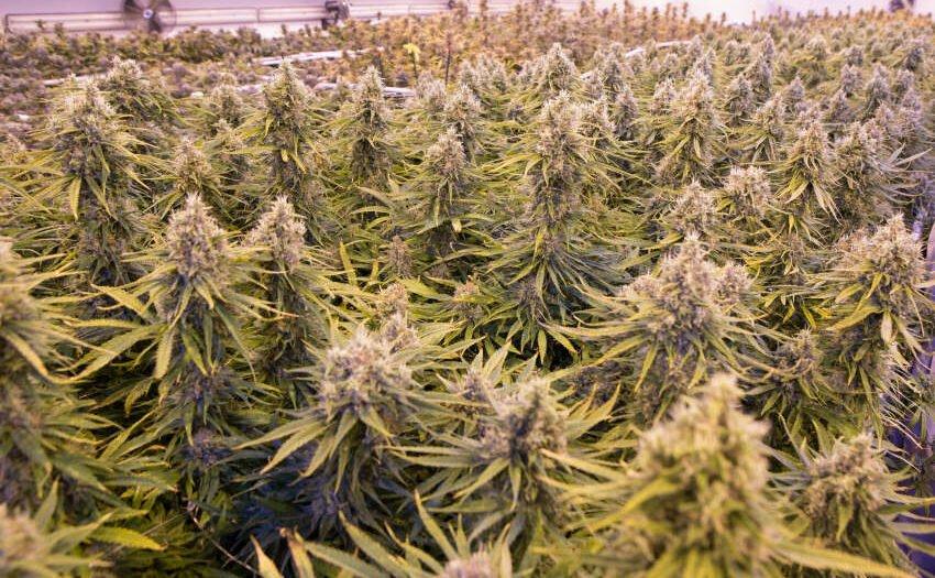 Medizinisches Cannabis aus Deutschland